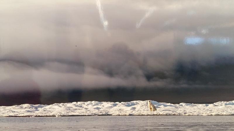 Белый медведь около острова Врангеля