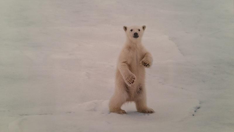 Белый медвежонок, земля Франца Иосифа