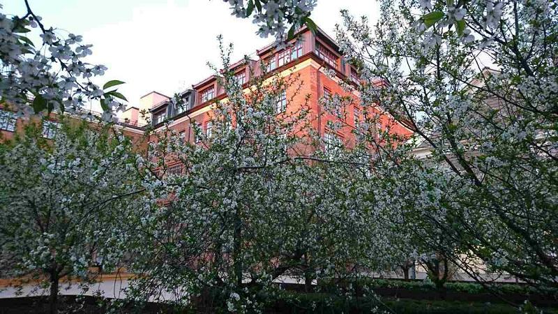 Вишневый сад во дворе Студии театрального искусства во время цветения