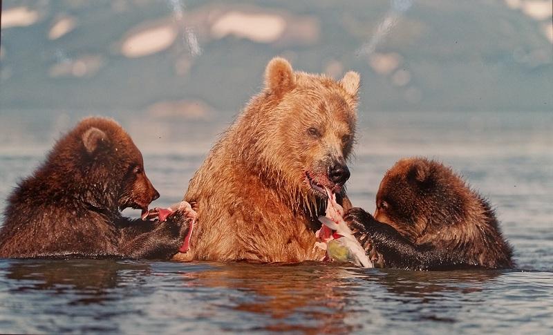 Камчатская медведица с медвежатами ловит рыбу