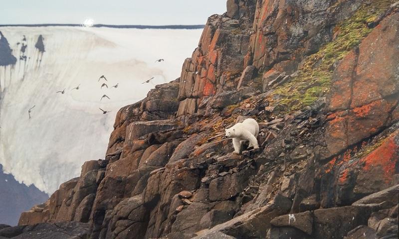 Белый медведь охотится за яйцами и птенцами перелетных птиц