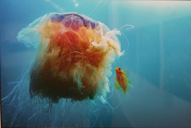 Медуза и рыбка бычок, Сахалин